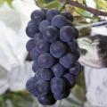 ブドウ苗木の販売店「花育通販」