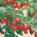 グミ苗木販売店【花育通販】夏ぐみの苗木を販売