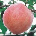 桃(もも)苗木よしひめを販売