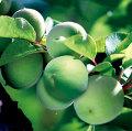 梅(ウメ)の苗木を販売