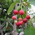 果樹・花木・植木の苗木販売店「花育通販」ジューンベリー(ジュンベリー)苗木を販売