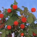 ベリー類苗木の販売店「花育通販」マイラビット苗木を販売
