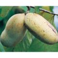 果樹苗木の販売店【花育通販】ポポー(ポーポー)苗木レベッカズゴールド