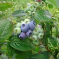 ブルーベリー「ウッタード」の苗木を販売【花育通販】