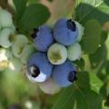 ブルーベリー「ノビリス」の苗木を販売【花育通販】