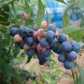 ブルーベリー「バルドウィン」の苗木を販売【花育通販】