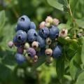 ブルーベリー「ベッキーブルー」の苗木を販売【花育通販】