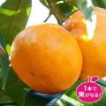 【花育通販】極早生蜜柑の温州みかん(ウンシュウ)「日南の姫」の苗木を販売