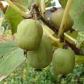 果樹苗木の販売店【花育通販】サルナシ(コクワ)苗木大実サルナシ・ファントム
