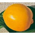 檸檬(レモン)璃の香(りのか)の苗木を販売【花育通販】