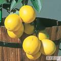 レモン「ラフマイヤーレモン」の苗木を販売