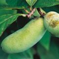 ポポー「ウェールズ」の苗木を販売【花育通販】