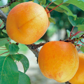 杏(アンズ・あんず)苗木販売店【花育通販】ハーコットの苗木を販売