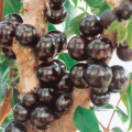 ジャボチカバの苗木を販売【花育通販】熱帯果樹の販売店