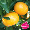 温州みかん「ゆら早生」ミカンの苗木を販売【花育通販】