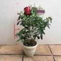 ブルーベリー苗木デュオ(2品種植え)パティスリーベリー