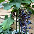 葡萄(ブドウ・ぶどう)「カベルネソーヴィニョン」