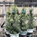 コニファー クプレッサス アリゾニカ'サルフレア'の苗木