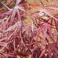 モミジ(紅葉)「燕換」の苗木を販売【花育通販】