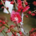 花梅「紅千鳥」の苗木を販売【花育通販】