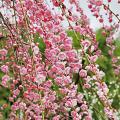 花梅・しだれ梅「藤牡丹」の鉢植えを販売【花育通販】