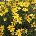 宿根草・多年草販売店【花育通販】糸葉ハルシャギクの苗を販売