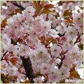 桜(サクラ・さくら)の苗木を販売