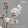 桜(さくら)の苗木販売店【花育通販】越の彼岸(コシノヒガン)