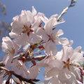 桜(サクラ・さくら)の苗木を販売【花育通販】神代曙(ジンダイアケボノ)