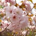 桜(サクラ・さくら)の苗木を販売【花育通販】高砂(タカサゴ)/南殿桜(ナデンザクラ)