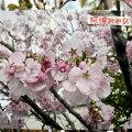阿波雅桜(アワミヤビザクラ)
