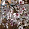 桜(サクラ)苗木  湖上の舞【雲竜性/豆桜(富士桜)】(4号)