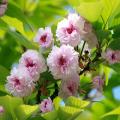 桜(さくら)苗木販売店【花育通販】兼六園菊桜
