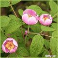 山野草・高山植物の苗を販売
