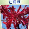 山野草 大文字草「紅珊瑚」の苗