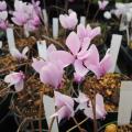 山野草販売店【花育通販】原種シクラメン・ヘデリフォリュームの苗を販売