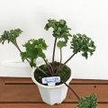 山野草・高山植物の販売店【花育通販】ツワブキの苗を販売