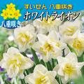 水仙(スイセン)・ホワイトライオンを販売【花育通販】