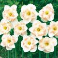 水仙(スイセン)・ピンクワンダーを販売【花育通販】