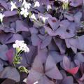 多年草(宿根草)の苗販売店「花育通販」オキザリス・紫の舞