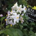 多年草(宿根草)の苗販売店「花育通販」ツルハナナスの花