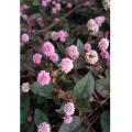 多年草(宿根草)の苗販売店「花育通販」ヒメツルソバの花