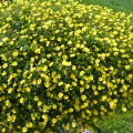 多年草(宿根草)メカルドニアを販売【花育通販】