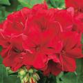 ゼラニウム(ゼラニューム)カリオペ・ダークレッドの苗を販売【花育通販】