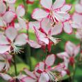 ガウラ「ブリージスサウンド」の苗を販売【花育通販】