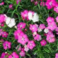ナデシコ・初恋の苗【花育通販】多年草・宿根草の販売店