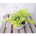 リシマキア・ヌムラリア 'オーレア'の苗【花育通販】多年草・宿根草の販売店