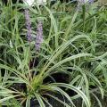 斑入りヤブランの苗【花育通販】多年草・宿根草の販売店