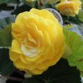 フォーチュンベコニアの苗を販売【花育通販】