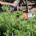 レースラベンダーの苗を販売【花育通販】